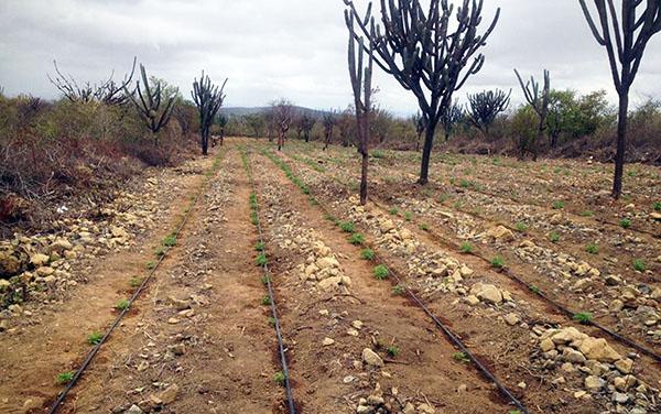 Mais de  115 mil pés de maconha foram destruídos na zona rural de Mirangaba